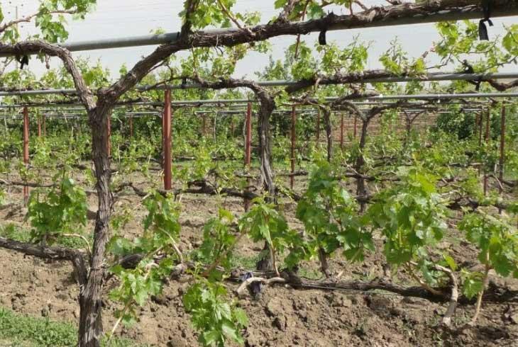 احداث باغات دیم انگور