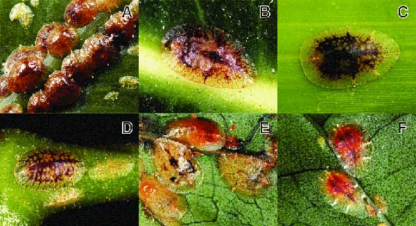 شپشک نرم تن مرکبات (Coccus hesperidum Linnaeus)