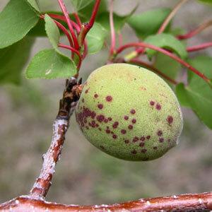 بیماری غربالی درختان میوه هسته دار