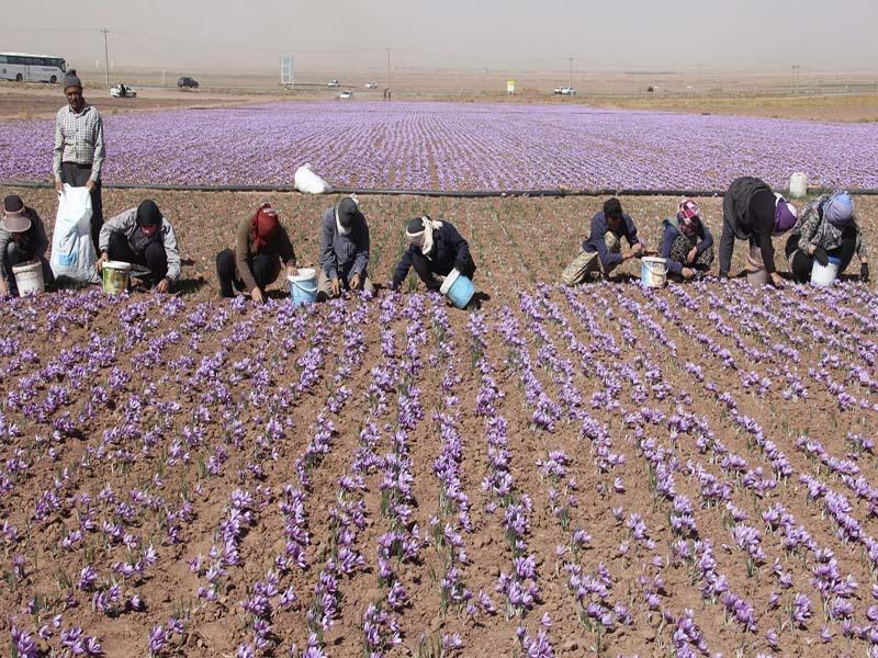 علف های هرز مزارع زعفران