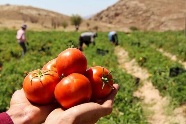 نیازهای آبی گوجه فرنگی ، دلالهای کشاورزی،قیمت گوجه فرنگی