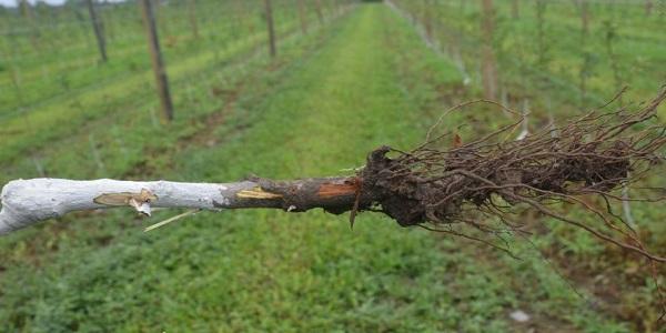 پوسیدگی ریشه و طوقه درختان میوه