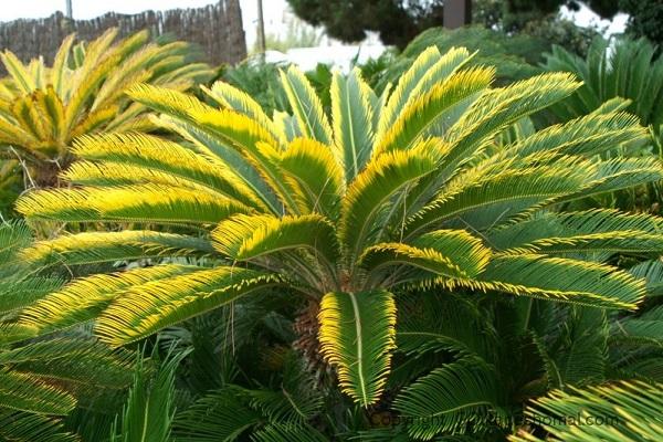 عارضه زرد شدن برگ گیاهان