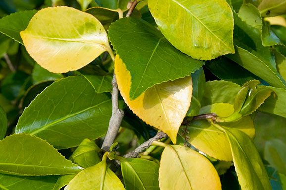 زردی برگ گیاهان