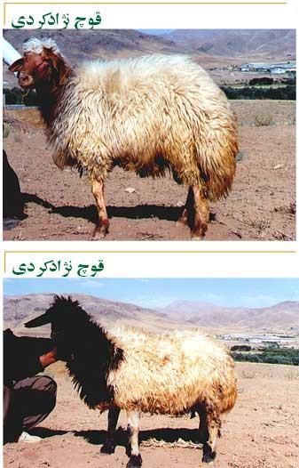 گوسفند كردی ظرفیتی برای تحول دام-قوچ نژاد کردی