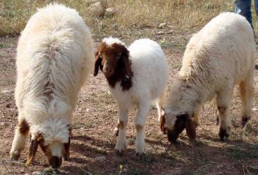 گوسفند کردی1
