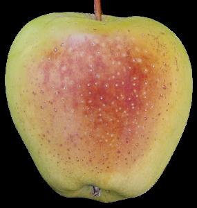 قهوه ای شدن سطح سیب