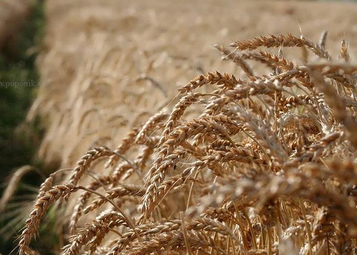 بذر گندم