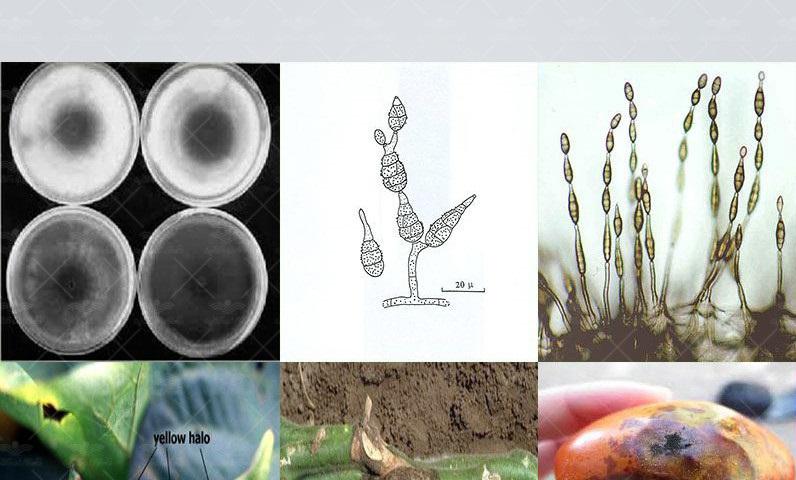 شکل (۲) علایم بیماریAlternaria spp. روی برگ، ساقه و میوه