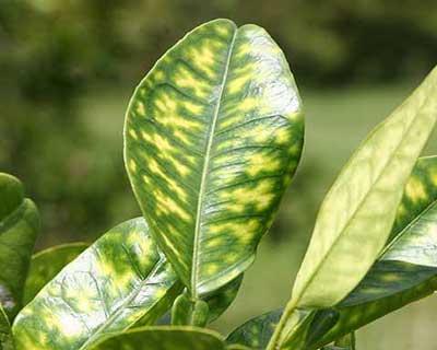 چگونگی تشخیص کمبود روی در گیاهان