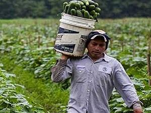بذر هیبریدی در کشاورزی