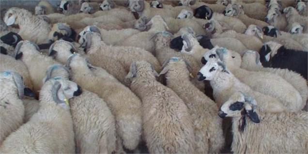 گوسفند داری