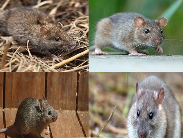 انواع موش