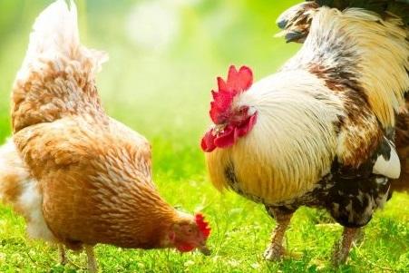 کودپلیت مرغی